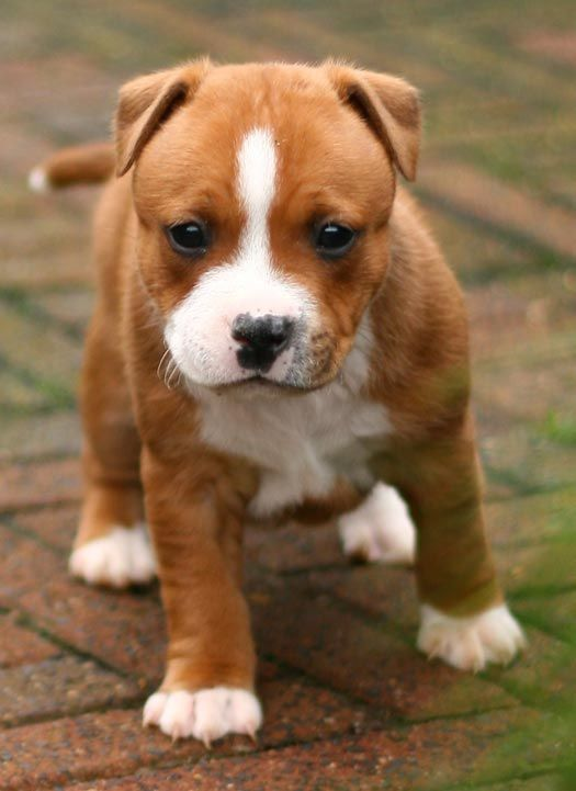 Staffordshire Bull Terrier puppy | Staffies Big and Small