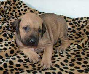 Rhodesian Ridgeback Puppies in Washington ~ www.loveyourridgebcak.com