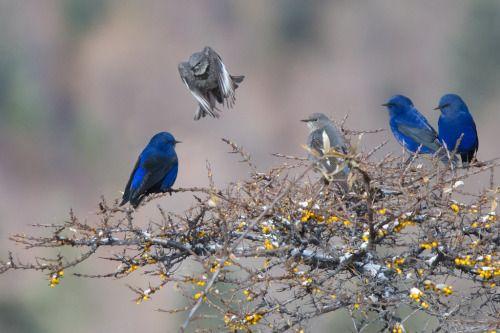 Untitled Blue Grandalas In 2020 Most Beautiful Birds Beautiful Birds Sky Color