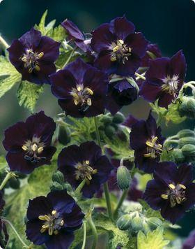 geranium- ohh inky