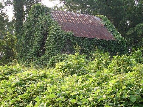 A familiar sight.....Kudzu (the vine of the south)