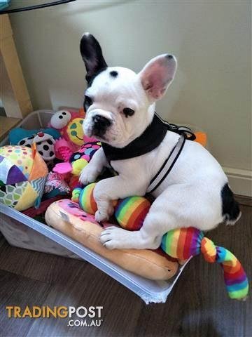French Bulldog For Sale In East Melbourne Vic French Bulldog