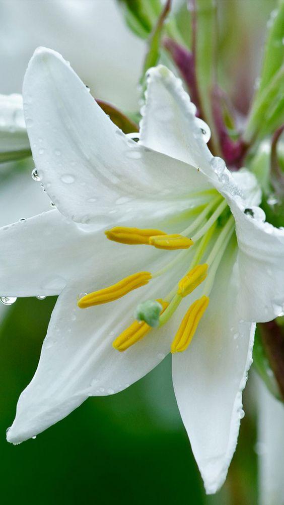 lily, flower, drops, stamens, freshness, close-up