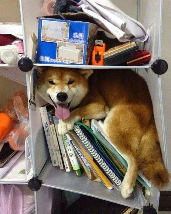 1,105 個讚,30 則留言 - Instagram 上的 Shiba spam club(@shibazome):「 Don't worry. I'll help you organize #shiba #dog #shibainu #doggo #shibadog #shibaoftheday #memes… 」