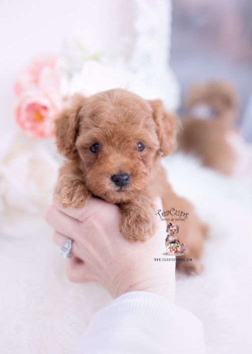 Red Toy Poodle Puppies 316 Toy Poodle Puppies Poodle Puppy Teacup Puppies
