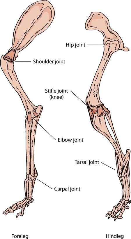 Dog hip anatomy