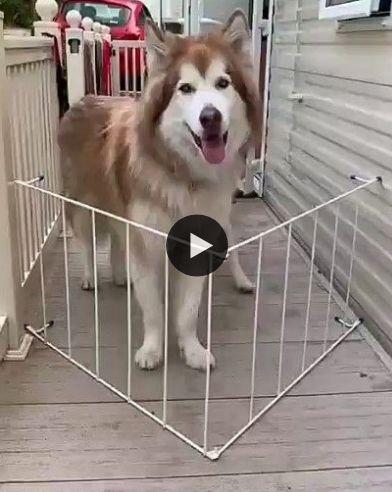 cachorro tenta passar pela grade e nao consegui