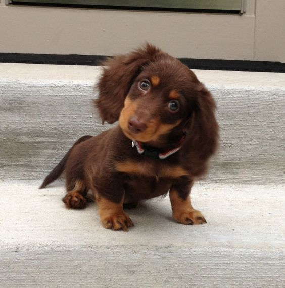 Chocolate And Tan Dachshund Brown And Tan Dachshunds Brown And Tan Sausage Dogs Brown And Tan Weiner Dogs In 2020 Dachshund Puppies Cute Baby Animals Daschund Puppies