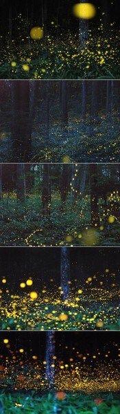 Firefly forest, Chugoku, Japan.