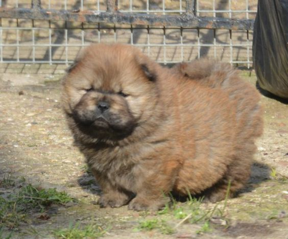 Beautiful pure Chow Chow baby girl - Pedigree Puppies For Sale