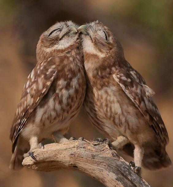 相思相愛のフクロウ
