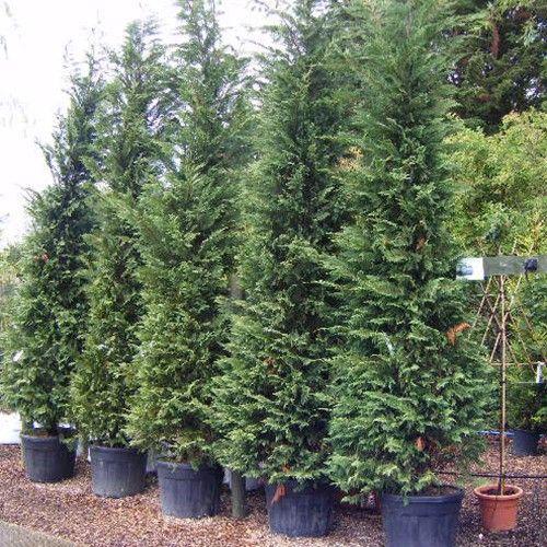 100 X LEYLANDII GREEN EVERGREEN CONIFER HEDGING LEYLAND PLANT IN P9 POT 20-30cms