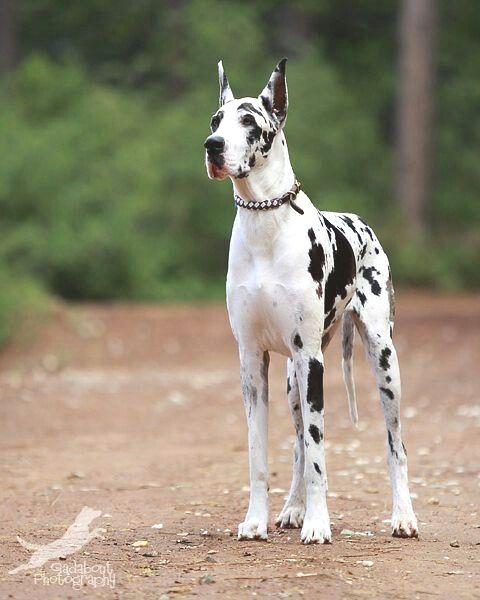 Pin By Dog Of Fan On Great Dane Dane Dog Great Dane Dogs Harlequin Great Danes