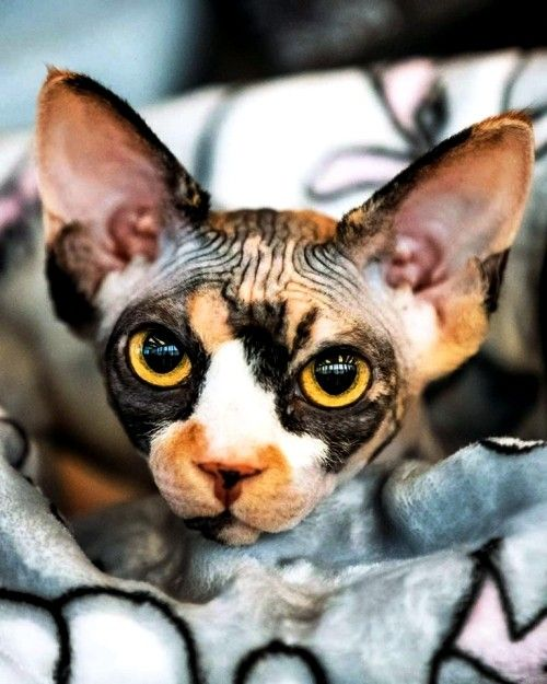 6 Allergiker Katzen Fur Uberempfindliche Samtpfotenfreunde Sphynx Katze Katzen Katzenrassen