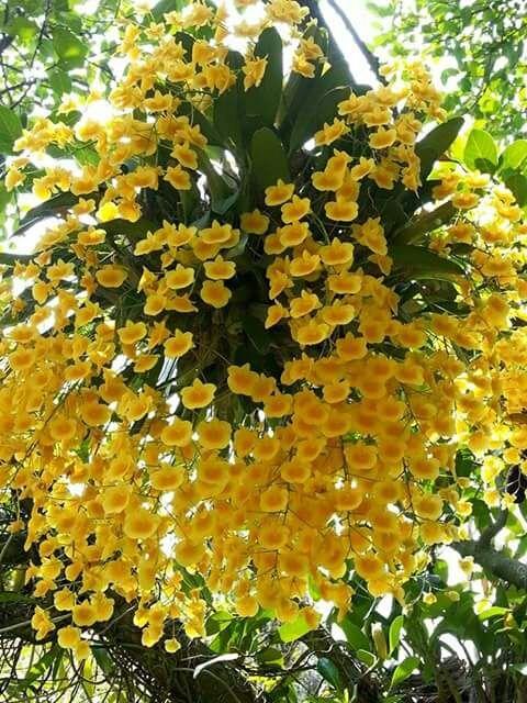 flores no jardim frases : flores no jardim frases:Dendrobium Orchid