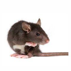 Ratten kunnen lachen als ze worden gekieteld