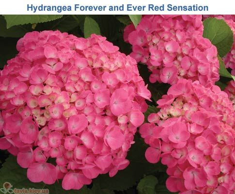 hydrangea macrophylla forever and ever red sensation. Black Bedroom Furniture Sets. Home Design Ideas