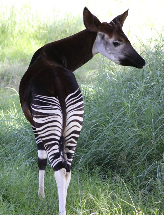 The Okapi Is A Relative Of The Zebra, And Lives In The Democratic Republic Of Congo