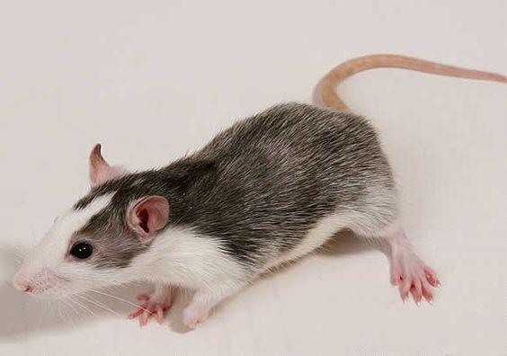 Le rythme quotidien d'un rat - Blog des Animaux de compagnie http://www.animalcompagnie.com/le-rythme-quotidien-dun-rat.html