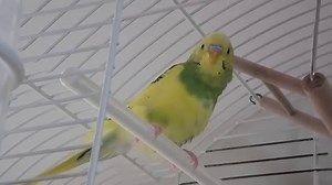 Perruche ondulée qui gazouille gentiment dans sa cage