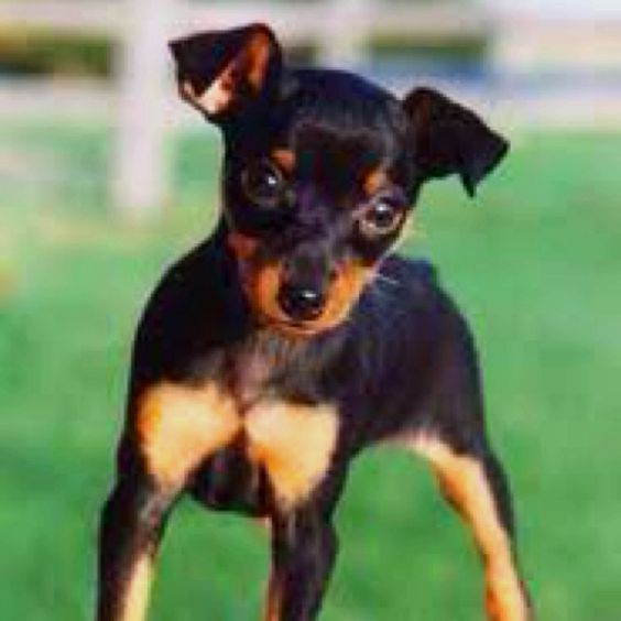 miniature pinscher for sale syracuse ny - photo#8