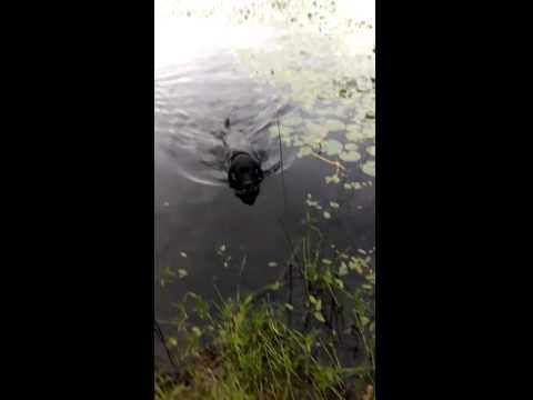 """You're Not Going To Believe What This Labrador Retriever Just """"Retrieved"""""""