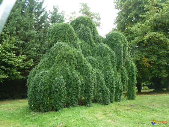 SOPHORA japonica 'Pendula':