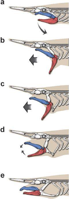 Slingshot feeding of the goblin shark
