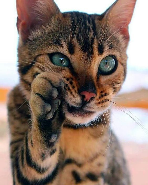 Best Cost Free Bengal Cats Behavior Strategies Initial Let S Discuss Exactly What Is A Bengal Cat Bengal Kitties Are Kittens Cutest Toyger Cat Gorgeous Cats