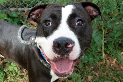 RIN TIN TIN - A1090219 - - Manhattan  Please Share:TO BE DESTROYED 09/25/16 **NEEDS A NEW HOPE RESCUE TO PULL** A volunteer writes: I've loved dogs for as long as I can remember, and Rin Tin Tin was one of my favorite childhood TV shows. I was excited to meet a dog named Rin Tin Tin, expecting a gorgeous German Shepard. What I got instead was a gorgeous black and white pittie mix. Stunning in his gleaming coat (bring your sun glasses to meet this stud muffin), Rinny (
