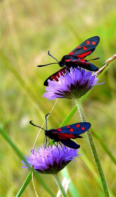 Spotty Moths