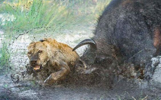 Una leona instantes antes de morir corneada por este búfalo al que había intentado atacar instantes antes (Wim Van Den Heever, 2016)
