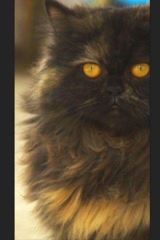 Color Portrait on EyeEm: Persian Cat, Alertness Curiosity, Domestic Cat