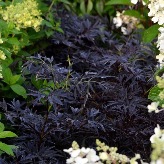 sureau noir sambucus nigra black lace eva annabel front back window boxes pinterest lace. Black Bedroom Furniture Sets. Home Design Ideas