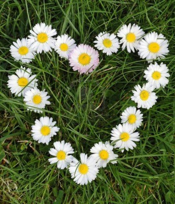 daisy images - Google Search