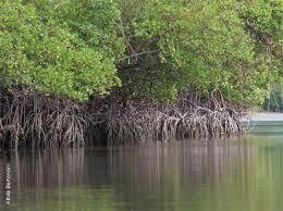 Resultado de imagem para manguezais do brasil