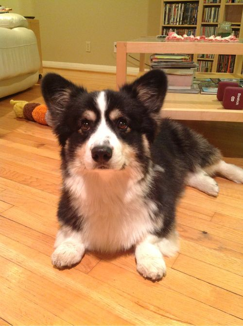 Australian Shepherd/Corgi Mix (Aussie-Corgi) ***Another Top Pet Pick*** #dog #shepherd #animal