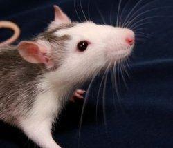 """Julia - Ca c'est un rat. Dans chapitre 9, Raoul et le Persan, regarde pour Christine. Pendant leur recherche, il trouve la tête de feu avec des dizaines des rats. Sur page 60, Il dit """"Tout à coup, ils senetent passer entre leurs jambes de petits animaux poilus... des rats! Des dizaines et des dizaines de rats!"""" La tête de feu dit qu'il est le tueur de rats. Raoul et le Persan était très effrayé quand ils ont vu les rats."""
