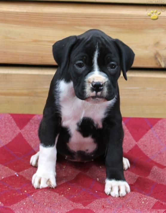 Abby Boxer Puppy For Sale In Lebanon Pa Lancaster Puppies