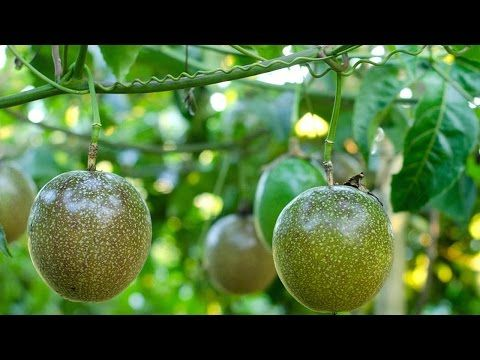 How To Grow Passion Fruit With Pictures Wikihow Passion Fruit Plant Growing Passion Fruit Passion Fruit