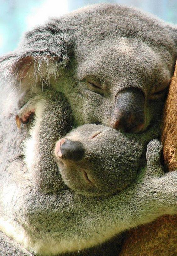 koalas...qué tiernooo!