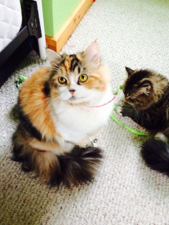 Beautiful calico Persian kitten | Cats | Pinterest ...