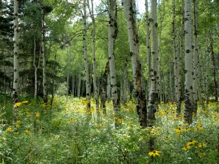 Wildflowers and Aspen Trees in Pagosa Springs, CO