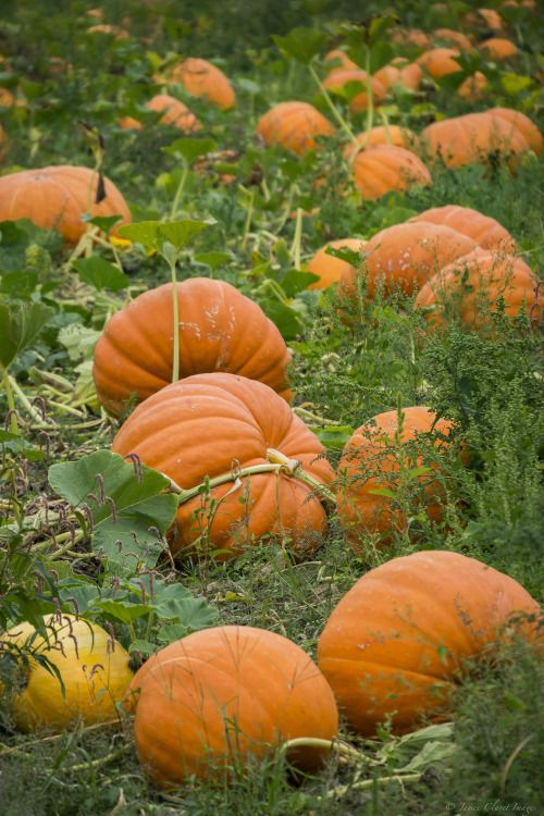 chillypepperhothothot:       Pumpkin patch by James Clavet