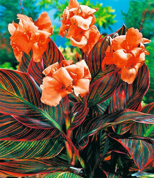 Canna Durban Top Qualitat Online Kaufen Baldur Garten In 2020 Exotische Pflanzen Blumenrohr Indisches Blumenrohr