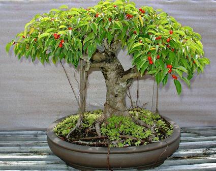 Ficus Philippinensis, ficus bonsai