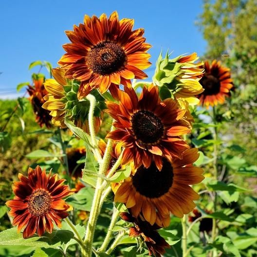 Sunflower Evening Colors Seeds Helianthus Annuus Planting Sunflowers Red Sunflowers Sunflower Pictures