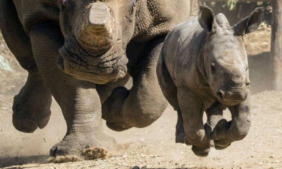 Uma rinoceronte de três meses corre à frente da mãe, de 21 anos, no Ramat Gan Safari, um zoológico próximo a Tel Aviv Foto: JACK GUEZ / AFP