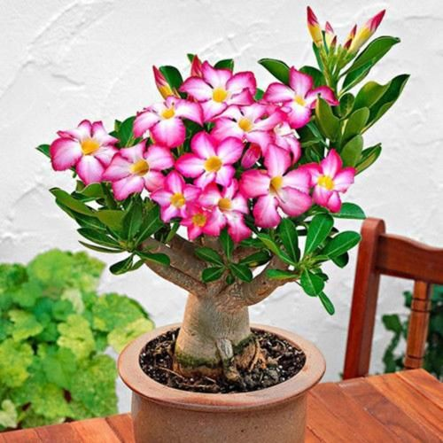 50 pcs Adenium Obesum Seeds Desert Rose Perennial Flower Garden Bonsai Plant Pip