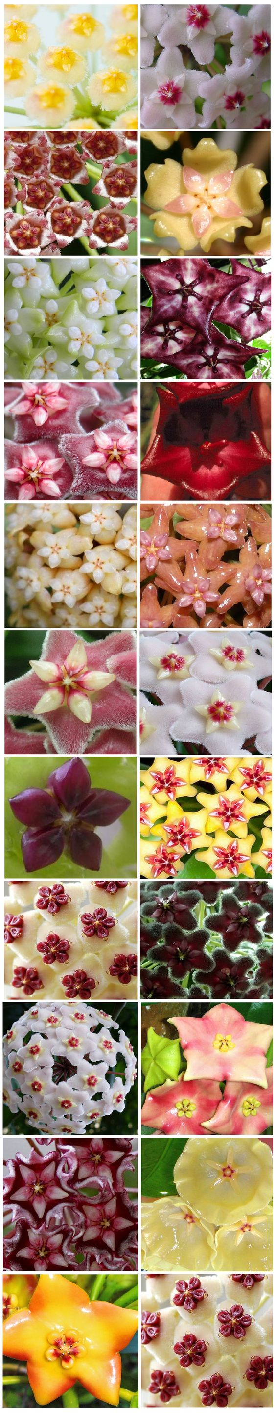 "Hoya, ""wax"" plant. Diversity Collection"
